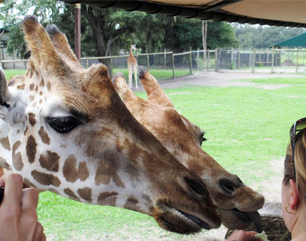 Photo of $5 Off Giraffe Feeding Day Safari at Giraffe Ranch