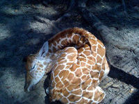 Giraffe Ranch Sleeping Giraffe